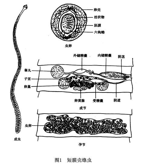 帶绦虫卵手绘图